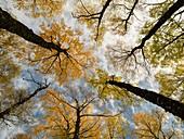 Silver birch (Betula pendula) canopy in autumn