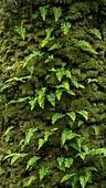 Common polypody (Polypodium vulgare)
