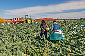 Cabbage harvest, Michigan, USA