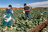 Cabbage harvest, Michigan, USA