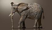 African elephant, illustration
