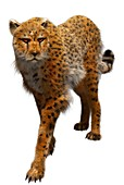 Cheetah, illustration