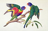Rainbow lorikeets, 19th century illustration