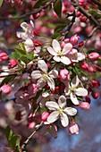 Japanese flowering crabapple tree in blossom
