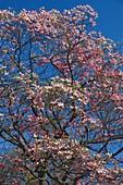 Flowering dogwood (Cornus florida) tree in blossom