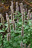 Anise hyssop (Agastache foeniculum) flowers