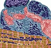 Neuromuscular junction, TEM