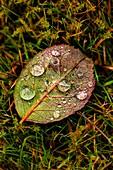 Rain droplets on a rose leaf