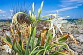 Sea daffodil