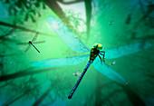 Prehistoric giant dragonfly, illustration