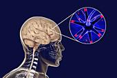 Human brain and neurons, illustration