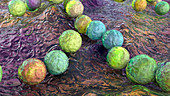 Streptococcus pyogenes bacteria, illustration