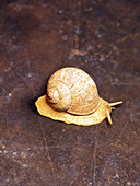 Living garden snail on a brown background
