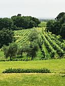 Toskanische Weinberge