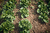 Kopfsalat auf dem Feld unter Schutznetz