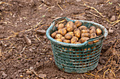Freshly harvested potatoes in a basket