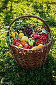 Korb mit frisch geernteten Wildfrüchten