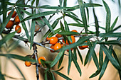 Sea buckthorn on the bush