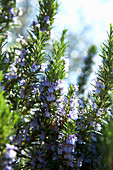 Rosemary with blossoms
