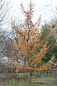 Europäische Lärche im Herbst mit gelben Nadeln
