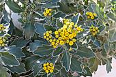 Gold-und-Silber-Chrysantheme auch Silberrandchrysantheme