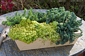 Kasten mit Herbstzauber-Sukkulenten : Fetthenne 'Tokyo Sun', 'Green Ball' und 'Blue Cushion'