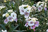 Goldlack 'Winter Charme' im Sommer mit Blüten und Samenansätzen