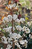 Liebesperlenstrauch 'Snow Queen' mit weißen Beeren