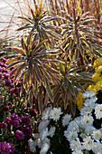 Herbstbeet mit Wolfsmilch 'Ascot Rainbow' und Chrysanthemen