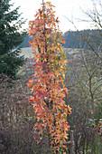 Säulen-Amberbaum 'Slender Silhouette' beginnt sich im Herbst zu färben