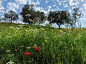 Organic olive trees and wild flowers