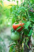 Gartentomaten am Strauch