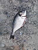 Raw sea bream on ice