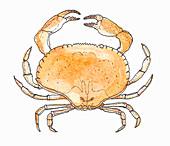 A crab (illustration)