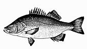 White Perch (Illustration)