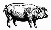 Pig (Illustration)