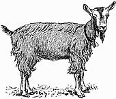 Goat (Illustration)