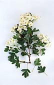 Ein Zweig Weißdorn mit Blüten