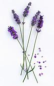 Lavendelstengel mit Blüte