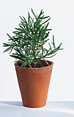 Rosemary in a plant pot