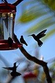 Group of hummingbirds using feeder
