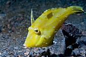 Shortsnout filefish