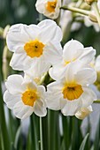 Tazetta daffodil (Narcissus tazetta 'Cragford')