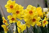 Narcissus tazetta 'Martinette'