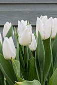 Tulipa 'White Prince'