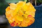 Tulipa 'Sunlover'