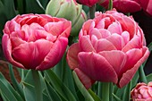 Tulipa 'Copper Image'
