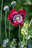 Poppy (Papaver somniferum 'Cherry Glow')