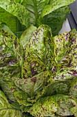 Romaine lettuce (Latuca sativa 'Freckles')