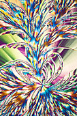Salicin crystals, polarised light micrograph